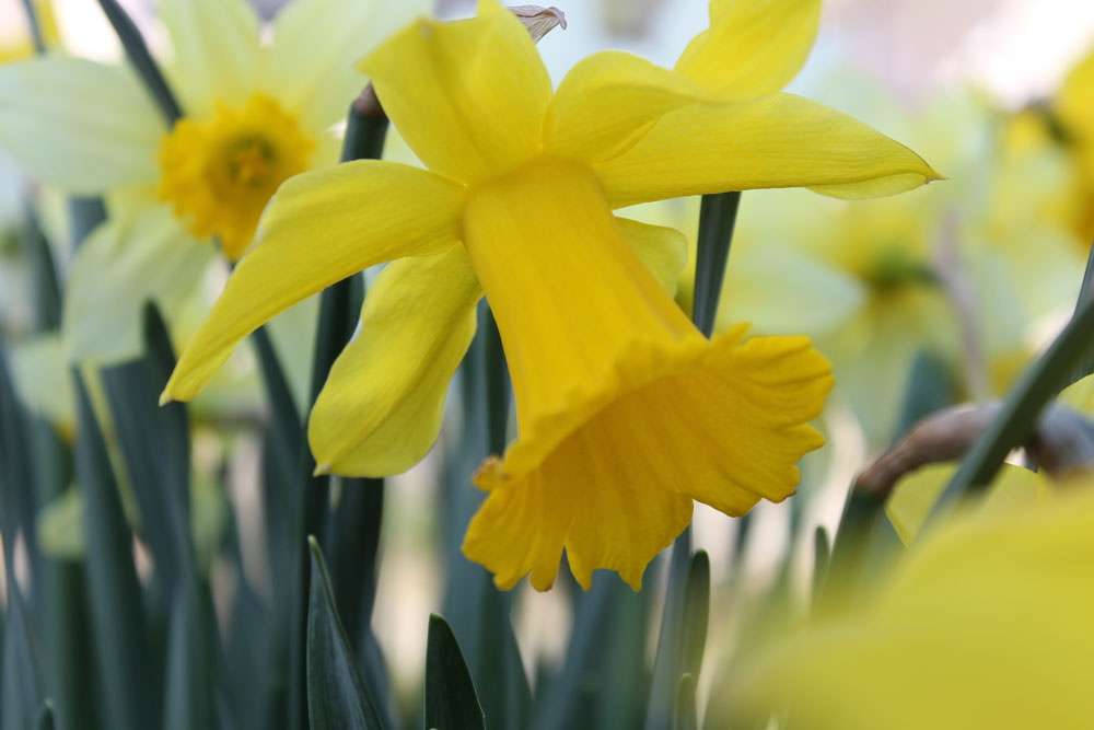 Žluté květy narcisů navozují příjemnou slunnou atmosféru.