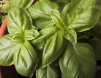 Pěstujeme bylinky – bazalka