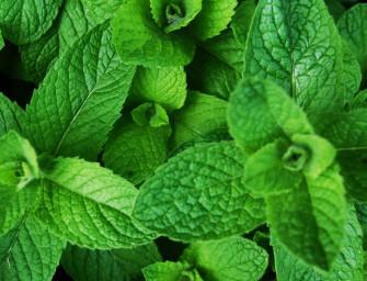 Pěstujeme bylinky – máta