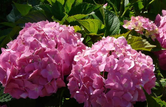 Hortenzie vznešená ozdoba okrasných zahrad