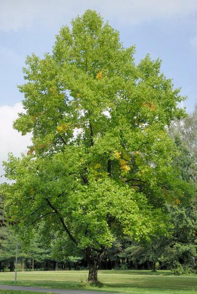 Liliovníky jsou opravdové majestáty dorůstající výšky až 40 metrů, dožívají se stáří i 400 let! Tento roste v zámeckém parku v Chocni.