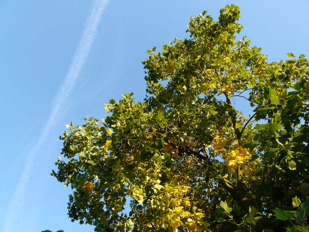 Na podzim se listy liliovníku zbarví do nádherné zlatavé barvy.