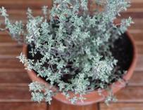 Pěstujeme bylinky – tymián
