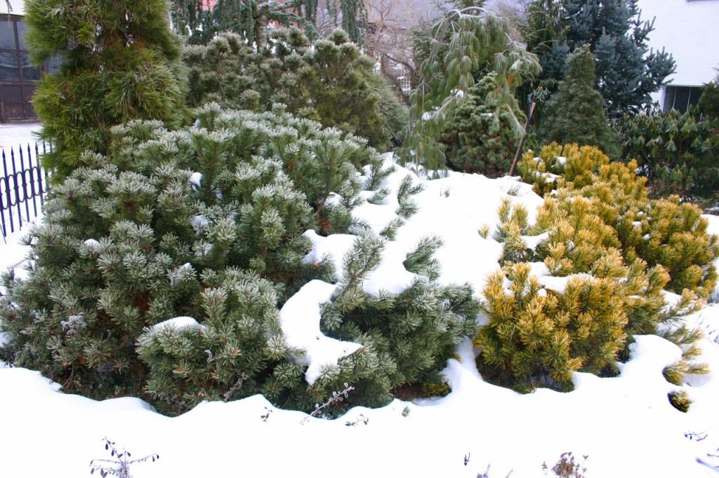 Při výsadbě dbejte na rovnováhu mezi opadavými a neopadavými dřevinami. Doporučuje se vysadit zahradu dvěma třetinami stálozelených a jednou třetinou opadavých dřevin. Zahrada bez listnatých opadavých stromů působí strnule a depresivně.