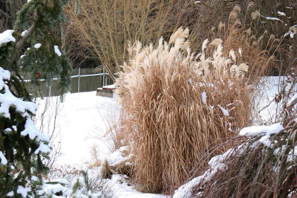 Nápaditá, živá a zajímavá zahrada se neobejde bez travin a trvalek. Sytě zelené jsou některé ostřice, kostřavy, bika a spousta bambusů. Okrasné trávy proto sestřihujte až na jaře, jinak se připravíte o nevšední krásu jinovatkou či sněhem pokrytých květenství.