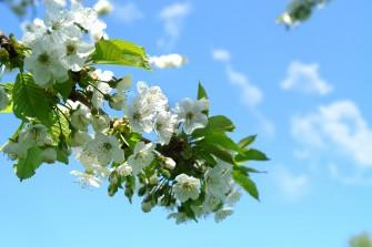 Postřik ovocných stromů