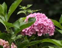 Hortenzie patří na vaši zahradu