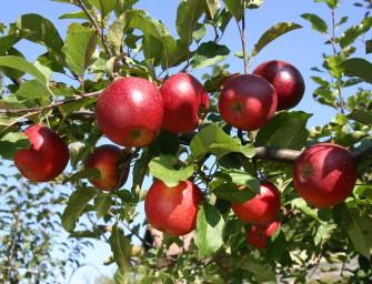 Jak se šlechtí jabloně