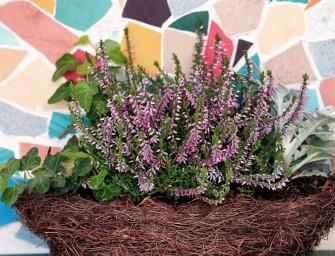Využijte okrasný vřes jako podzimní dekoraci