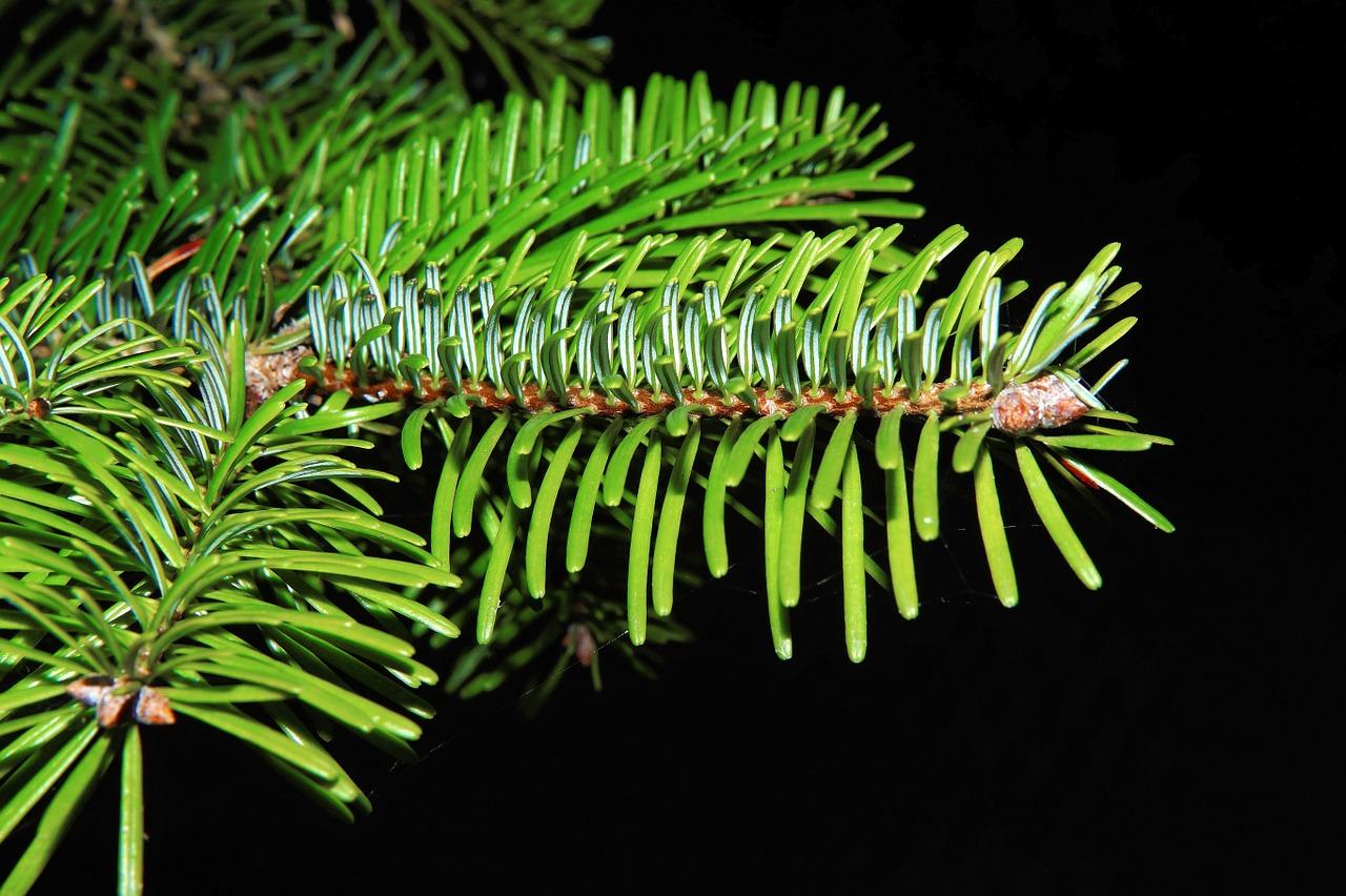 Jedle bývá zpravidla ze stromků nejdražší. Téměř však neopadává, je pravidelně rostlá a krásně voní.