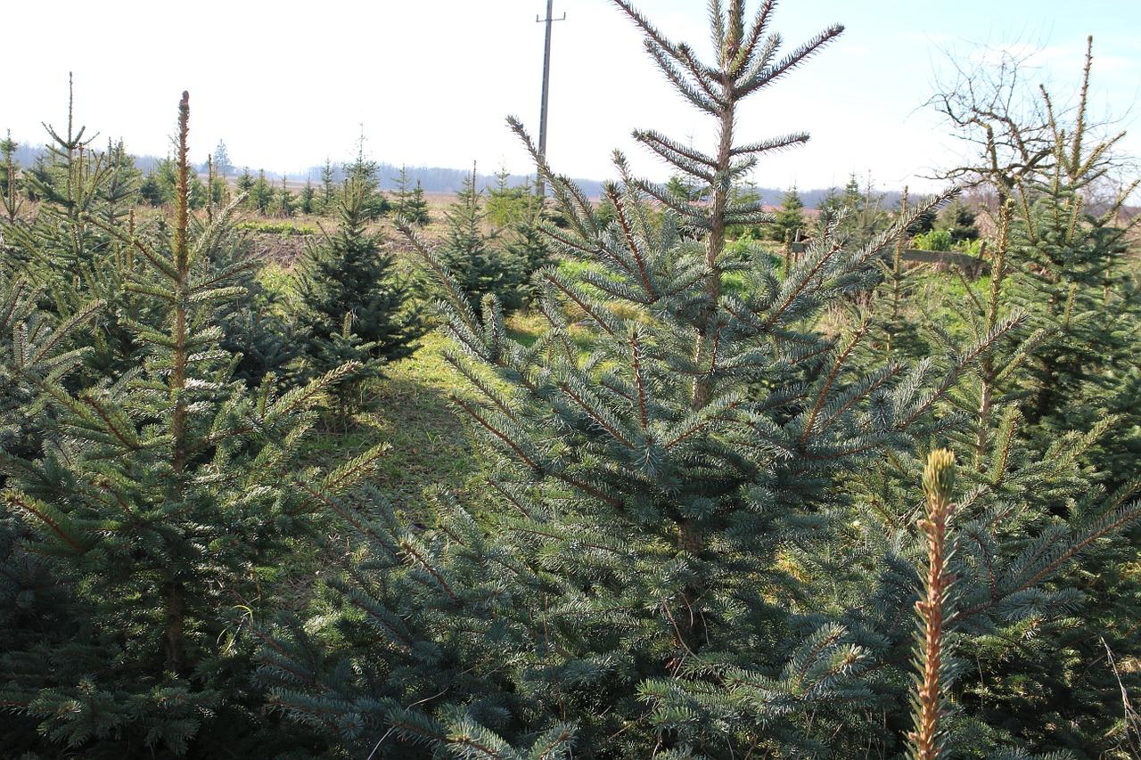 při výběru vánočního stromečku byste měli dbát několika pravidel. jedině tak vám stromek vydrží až do Tří králů a možná i déle.