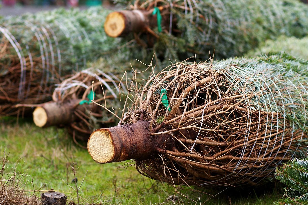 Pokud si necháte kmen zbrousit, pak stromek začne opadávat zpravidla dříve. Nemá totiž, čím by nasál vodu, i když ho umístíte do speciálního stojánku se zásobníkem vody.