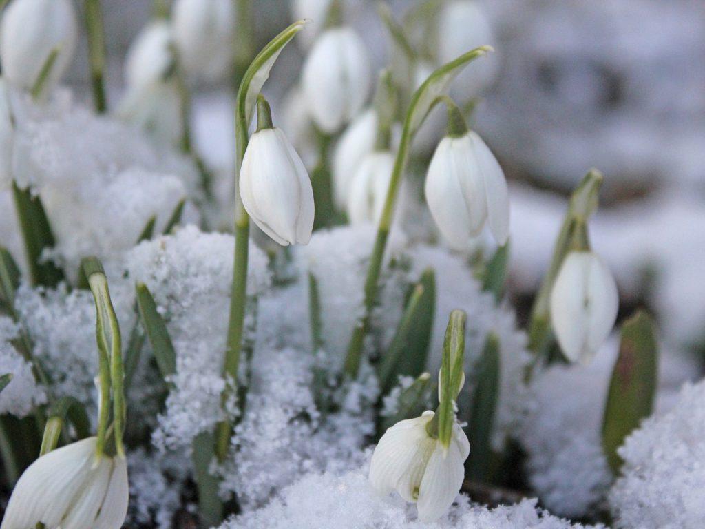 První sněženky vykukují zpod sněhové přikrývky.