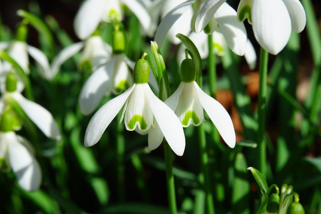 Sněženka je neodmyslitelným symbolem patřícím k jaru.