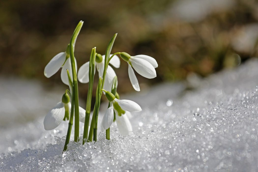 sněženky4