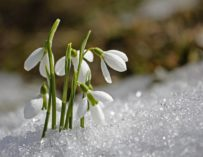 Něžně bílí poslové jara – sněženky