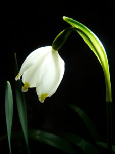 květ bledule jarní