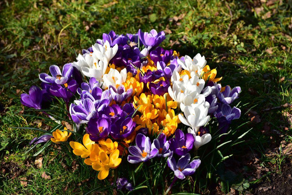Krokusy jsou velmi oblíbenou jarní květinou našich zahrad. Pěstují se z cibulek, které se sází na podzim.