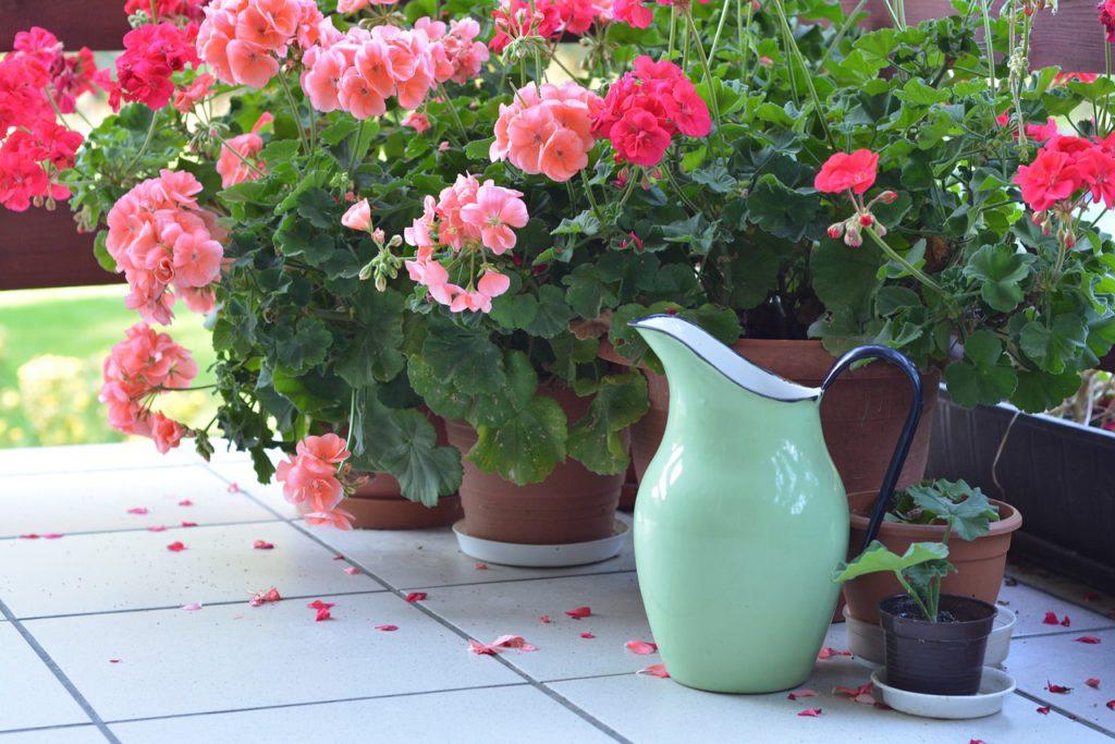 Aby se vám v létě muškáty odměnily bohatým květem, je konec února vhodný pro jejich sestřih a přesazení.