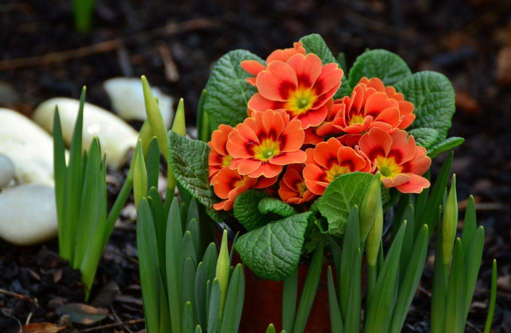 Pokud odkvetlý petrklíč z květináče přesadíte do záhonu, tak příští jaro opět vykvete.