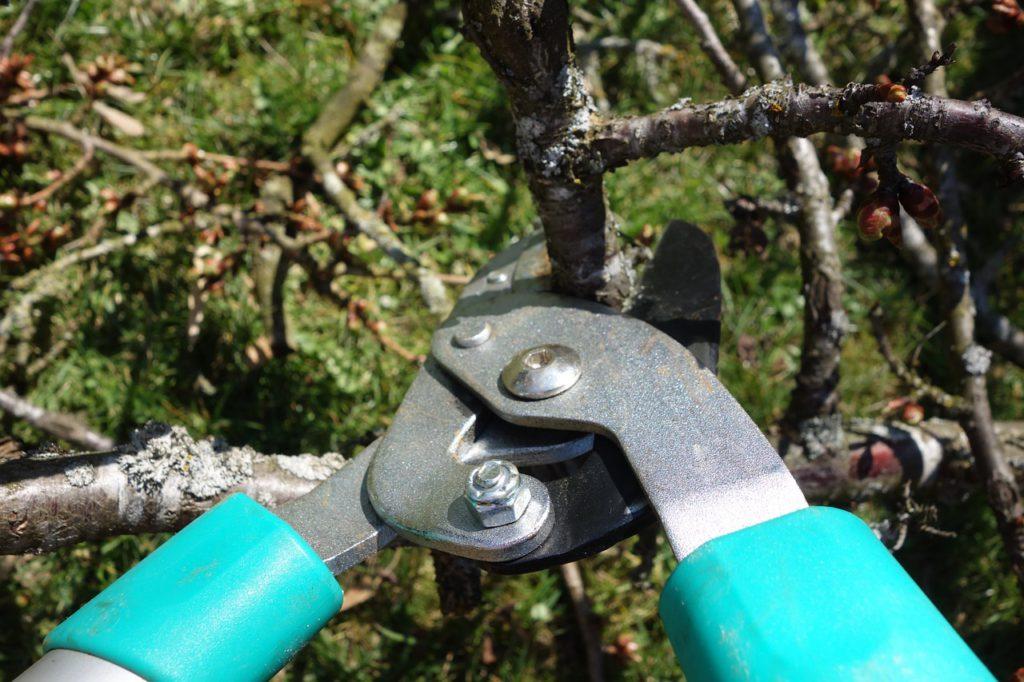 V únoru se prořezávají ovocné stromy a keře.