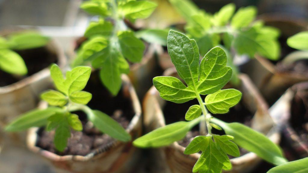 Únor se pro zahrádkáře nese ve znamení předpěstování sazeniček zeleniny, ale i květin.