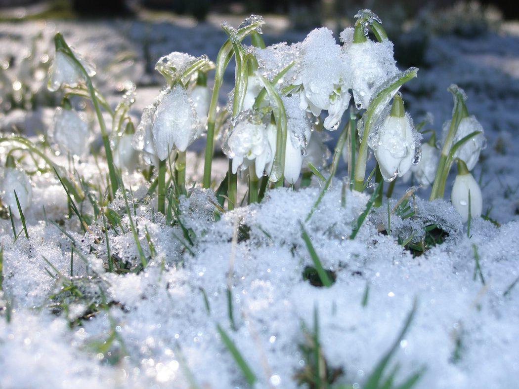 sněženka