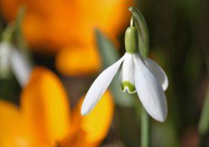 květ - sněženka podsněžník