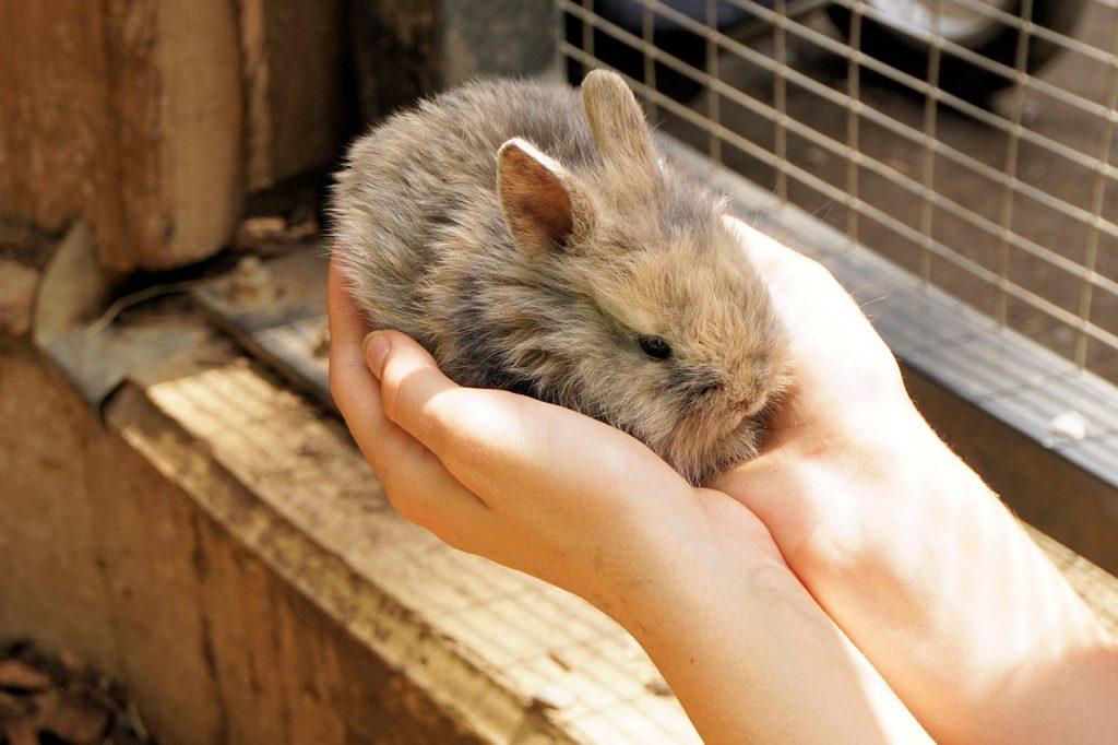 Aby byl králíček dostatečně socializovaný, nechal se hladit a nebyl bázlivý je nutné se mu věnovat a pravidelně ho pouštět z klece ven.