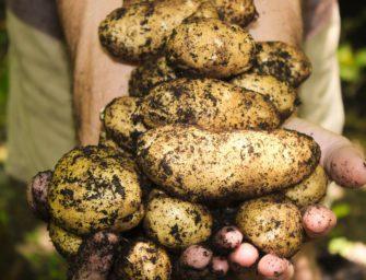 Rané brambory – úžasná dobrota! Jak si poradit s pěstováním brambor?