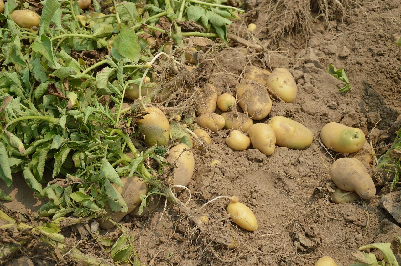 brambory5