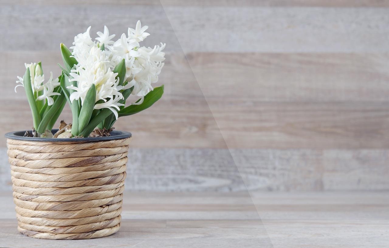 Omamná vůně hyacintů je nezaměnitelná, jen bych je neumisťovala do ložnice.