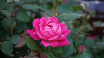 Jak jsem se pustila do pěstování růží