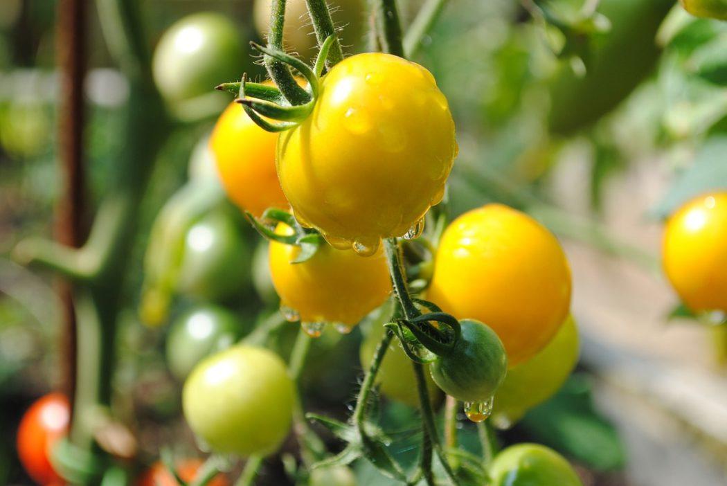 žlutá rajčata6
