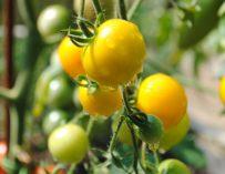 Koktejlová žlutá rajčata zvládne pěstovat každý