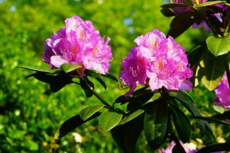 Kdy stříhat azalky a rododendrony?