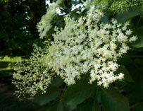 Domácí bezová šťáva – dobrota s vůní jara