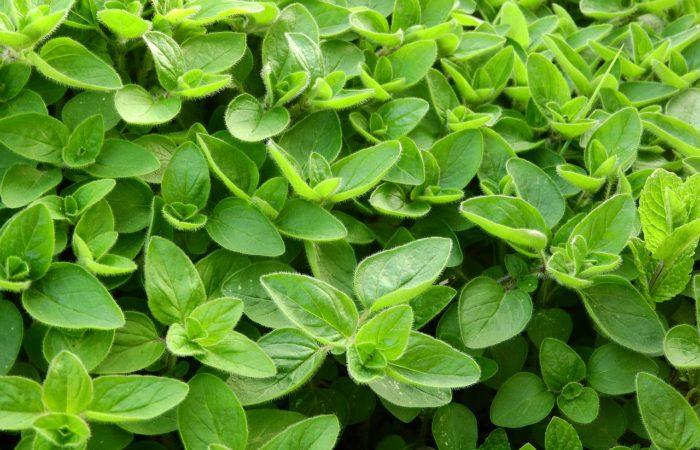 Pěstujeme bylinky – majoránka