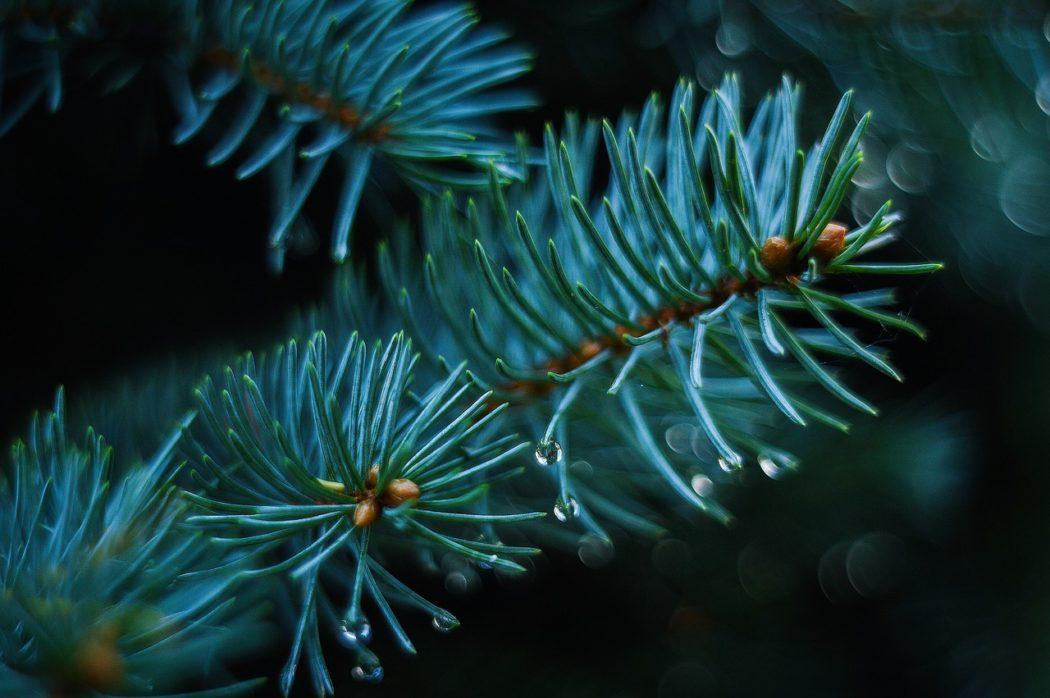 Péče o vánoční stromek