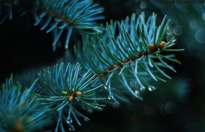 Jak pečovat o vánoční stromek, aby nám dlouho vydržel
